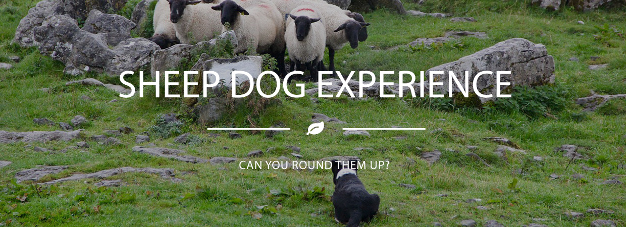Happy Days Sheep Dog Experience